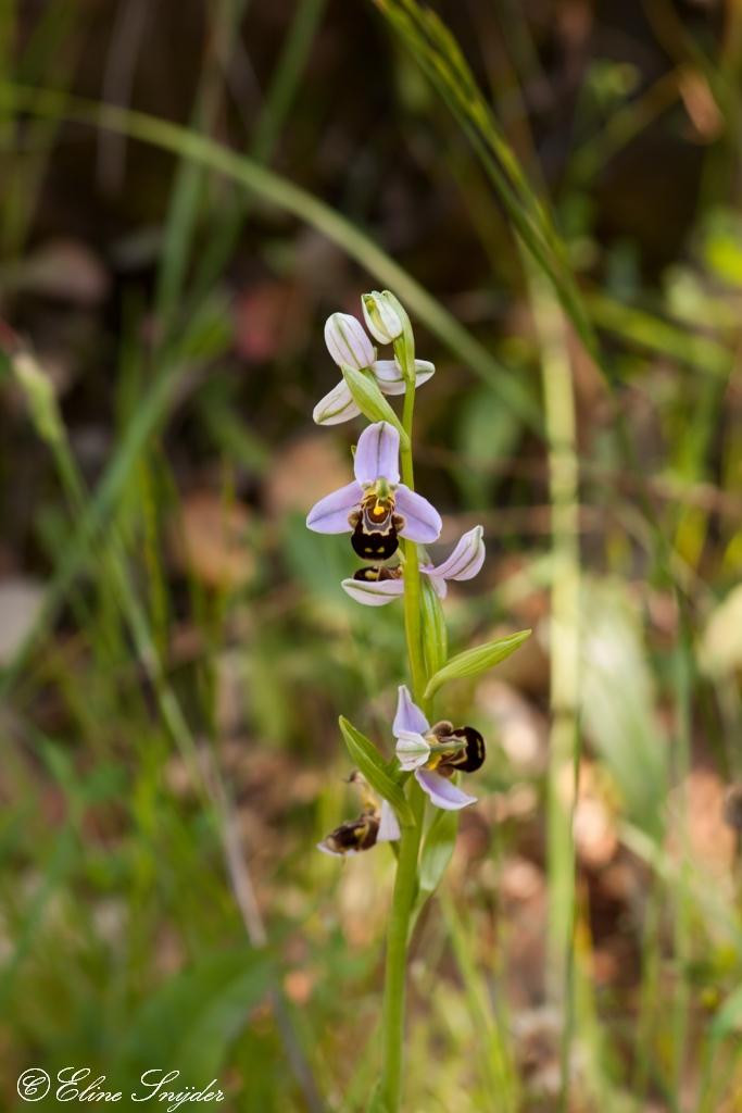 Bijenorchis Orchideeën vakantie Portugal