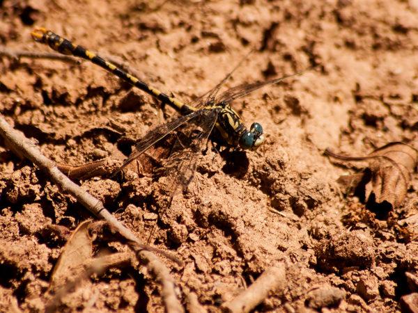 Grote tanglibel - Onychogomphus uncatus - Monte Horizonte