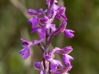 Slanke Harlekijn - Orchis morio picta Orchideeën vakantie Portugal