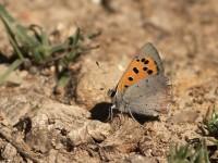 Kleine Vuurvlinder Portugal
