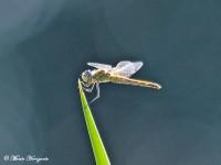 Libelle in de Alentejo regio van Portugal