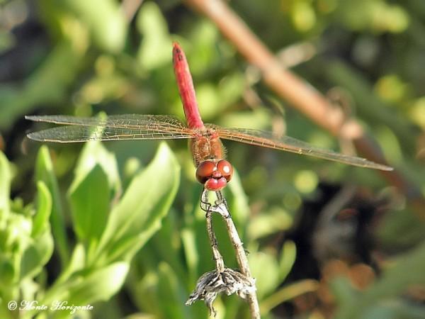 Libellen in de Alentejo regio van Portugal