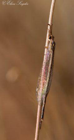 Macronemurus appendiculatus - Monte Horizonte