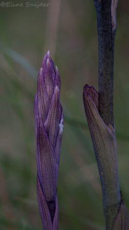Paarse Aspergeorchis -Limodorum abortivum Orchideeën vakantie Portugal