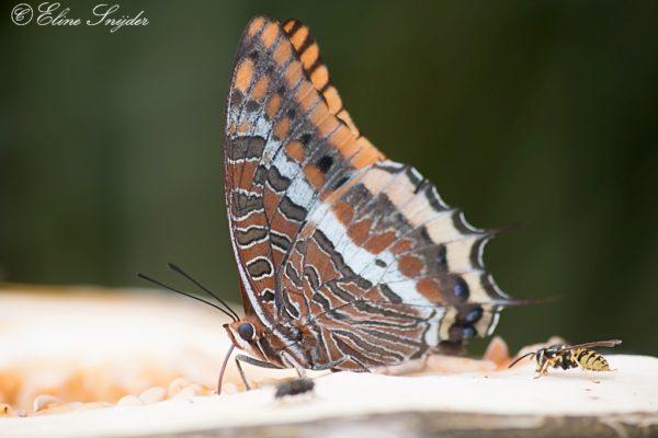 Vlinders en Rupsen - Monte Horizonte
