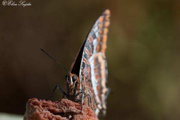 Vlinders - Monte Horizonte