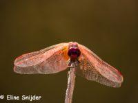 Libellen en Juffers - Monte Horizonte