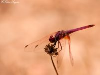 Purperlibel - Monte Horizonte