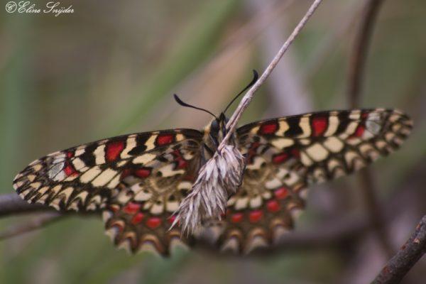 Spaanse pijpbloemvlinder - Monte Horizonte