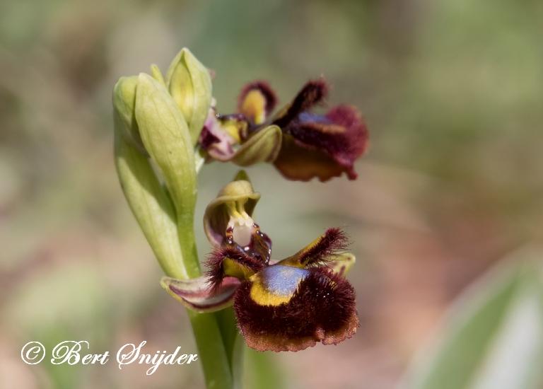 Spiegelorchis - Ophrys speculum Orchideeën vakantie Portugal
