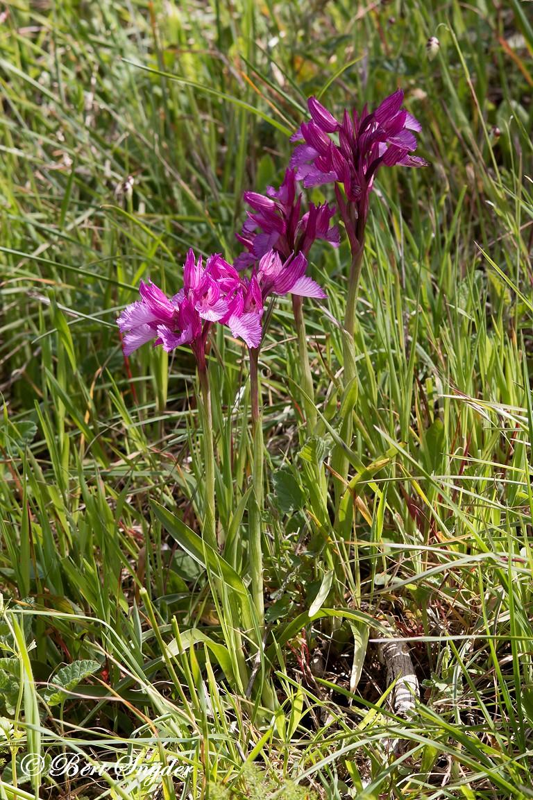 Vlinderorchis - Vlinderorchis - Orchis Papilionacea Orchideeën vakantie Portugal