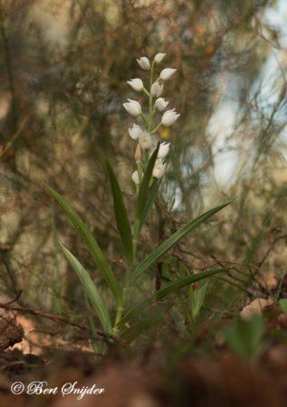 Wit Bosvogeltje - Cephalanthera longifolia Orchideeën vakantie Portugal