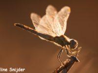 Zwervende Heidelibel - Monte Horizonte